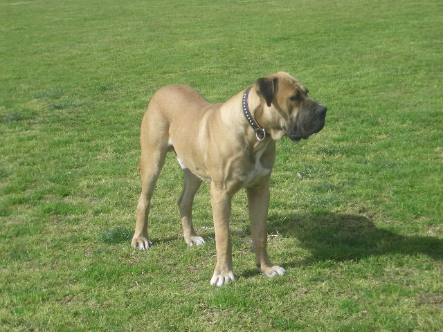 The South African Mastiff (Boerboel). The Boerboel is South Africa's very